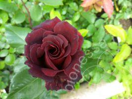 Роза фиджи негро ширина куста
