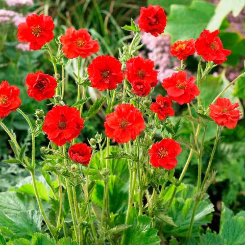 Цветок гравилат и описание