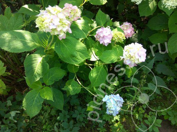 садовые многолетники.