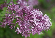 сирень Мейера ФЛАУЭРФЕСТА ПУРПЛ р9 ( Syringa meyeri Flowerfesta Purple)
